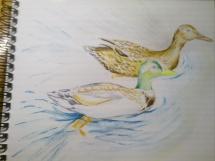Kachny ve vodě