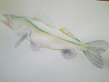 Ryba akvarel